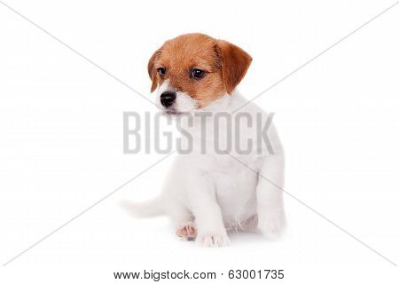 Jack Russell puppy (1,5 month old) on white