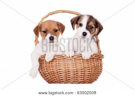 Two Jack Russell puppies (1,5 month old) on white