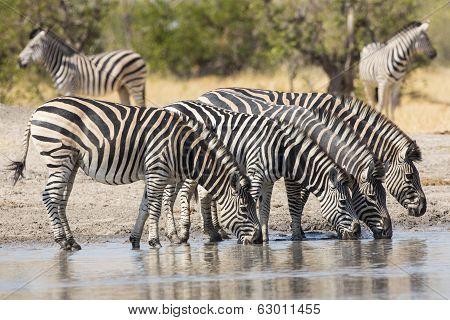 Herd Of Plains Zebra (equus Burchellii) Drinking In South Africa