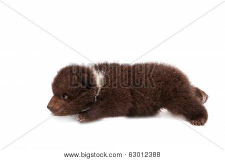 Brown Bear cub (Ursus arctos), on white