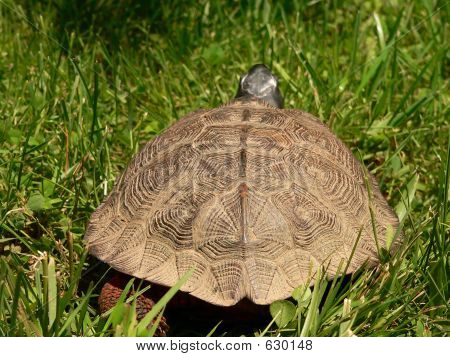 Wood Turtle Rear