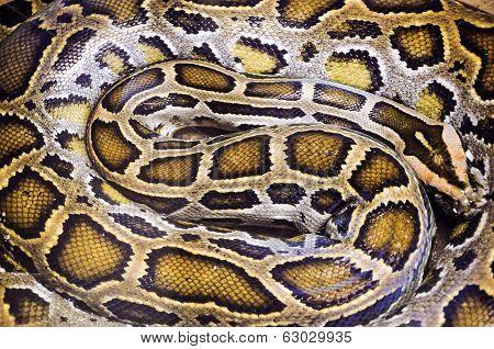 Close up snake boa