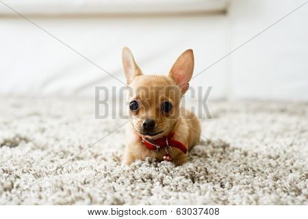 Chihuahua In The Living Room
