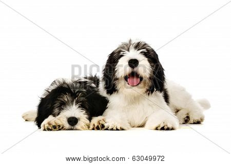 Polish Lowland Sheepdog Isolated On A White Background