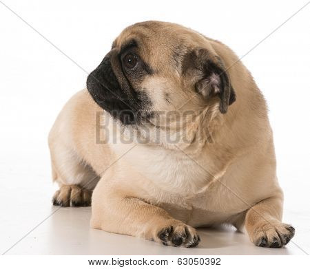 pug laying down isolated on white background poster