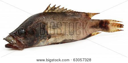 Mottled Nandus or veda fish of Sout Asia over white background poster