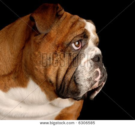 brindle english bulldog portrait on black background poster