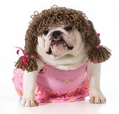 female dog - english bulldog wearing pink dress and pigtail wig isolated on white background poster