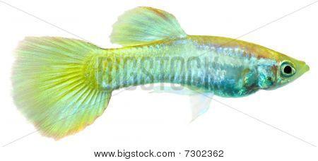 Guppy Fish  (poecilia Reticulata)