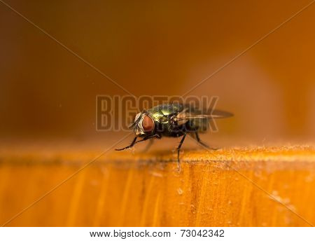 Green Fly Cleaning Its Legs