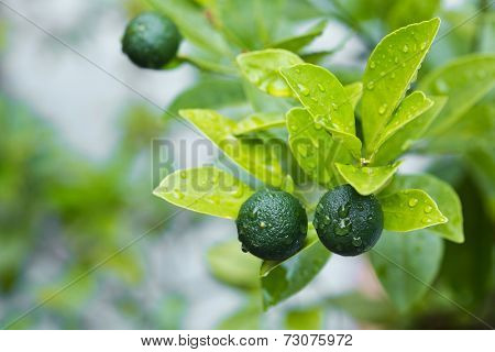 A healthy calamansi tropical lime plant growing healthy outdoors.