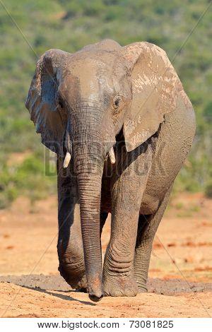 Mud covered African elephant (Loxodonta africana), Addo Elephant National park, South Africa
