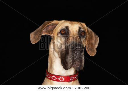 Brazilian Mastiff (fila Brasileiro), Close-up