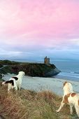 two dogs on the snowy clifftop viewing the sunset and castle in ballybunion county kerry ireland poster