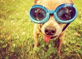 a cute chihuahua wearing goggles in the grass with his tongue out toned with a retro vintage instagram filter effect (focus on the eyes inside the goggles) poster