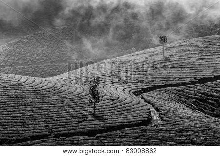 Kerala India travel background - green tea plantations in Munnar, Kerala, India - tourist attraction. Black and white version