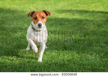 jack russel on green lawn
