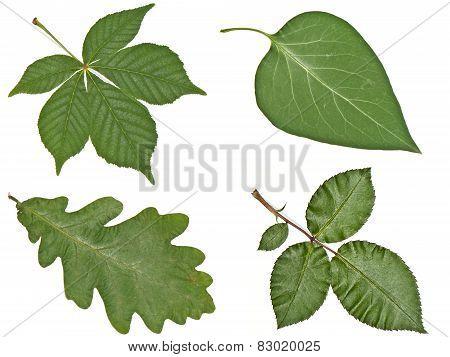 Buckeye, Oak, Lilac And Rose Leaves Closeup