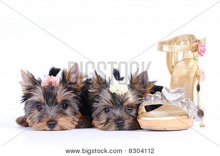 Two Yorkshire Terrier Puppies