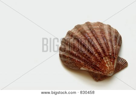 Large Shell On White