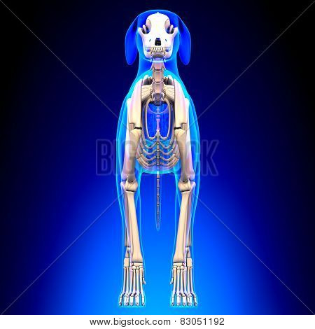 Dog Skeleton - Canis Lupus Familiaris Anatomy - Front View