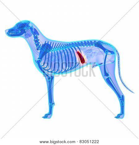 Dog Spleen - Canis Lupus Familiaris Anatomy - Isolated On White