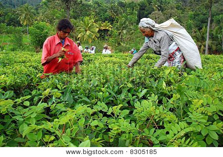 Tamil Tea Pickers At The Plantation