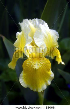 Gelbe Iris 1