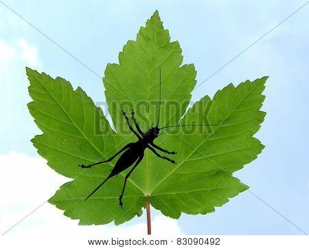 Maple Leaf With Bush Cricket