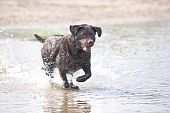 Brown labrador running and jumping in the water poster