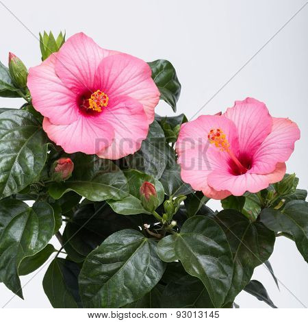 pink hibiscus flower isolated on white background