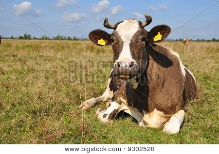 poster of A cow on a summer pasture in a rural landscape under clouds.