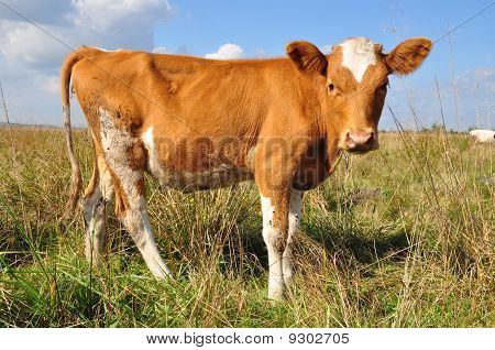 poster of The calf on a summer pasture in a rural landscape under clouds.
