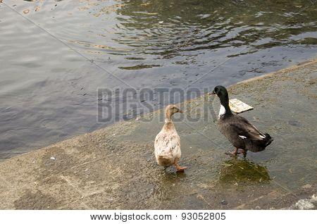 Duck Twenty One