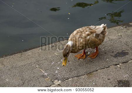 Duck Tweny Four