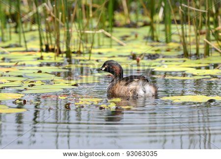 Australasia Grebe swimming in pond, Queensland, Australia