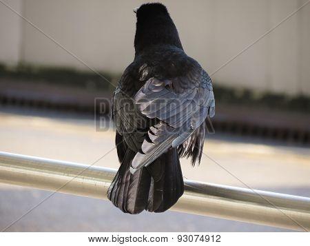 black crow or rook (Corvus frugilegus) in a urban environment