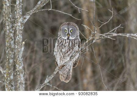 A lone Great Grey Owl