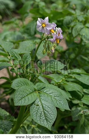 Potato Plant Flowering