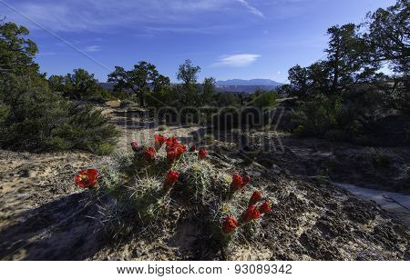 Crimson Hedgehog Cactus Blossom Escalante National Park Utah