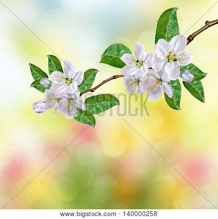 spring landscape. Flowering apple tree. garden. flower