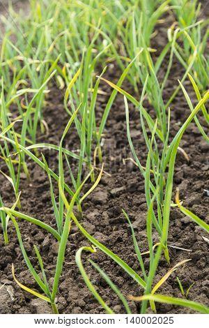 Green onion plantation in the vegetable garden on soil