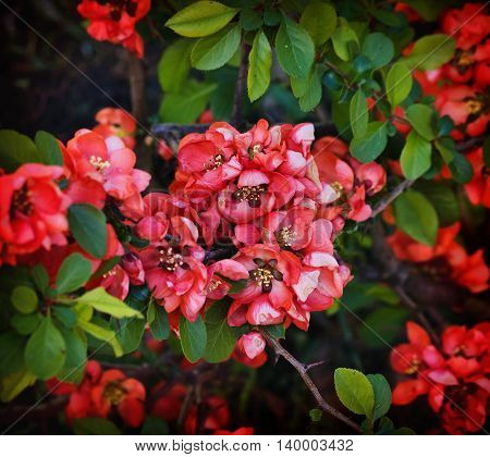 Japanese quince bush with flowers close up