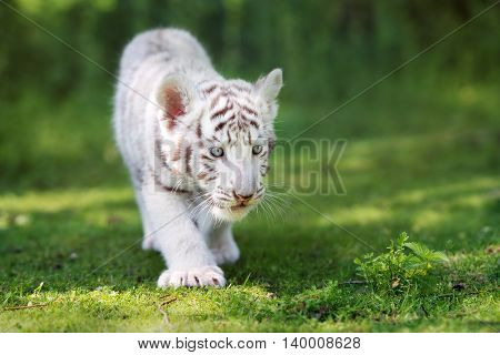 adorable white bengal tiger cub outdoors in summer