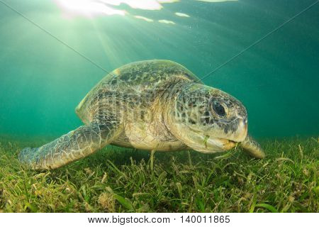 Green Sea Turtle feeds on seagrass in sunlight
