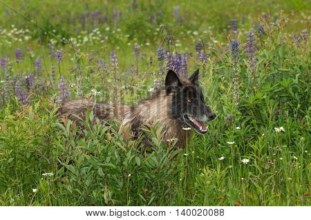 Grey Wolf (Canis lupus) Stands in Lupin Patch - captive animal