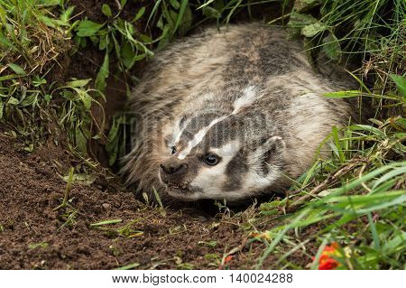 North American Badger (Taxidea taxus) Snarls Left - captive animal