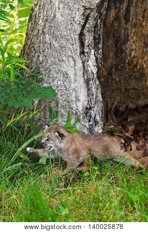 Canada Lynx (Lynx canadensis) Kitten Pounces Left - captive animal