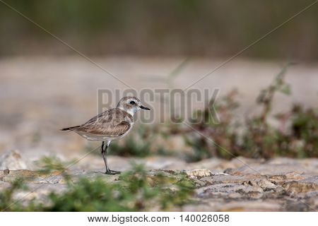 Kentish Plover or Charadrius alexandrinus (female) on a rocky ground in Bahrain