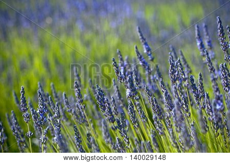 Closeup view of lavender very shallow depth of focus